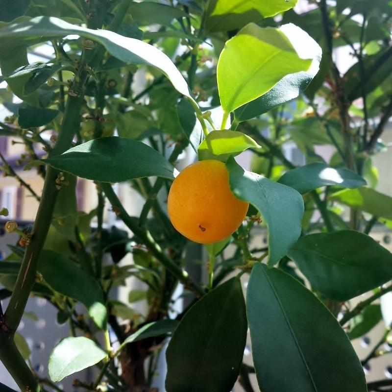 Kumquatbäumchenfrucht