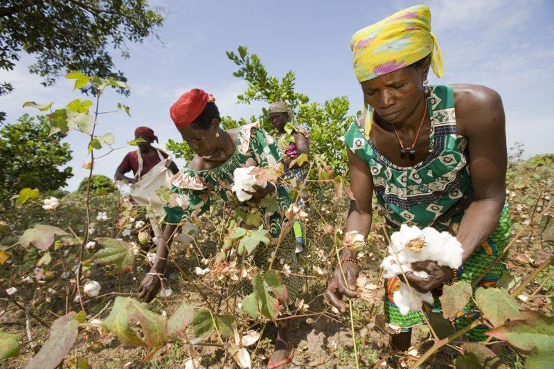 Benin Gemeinde Kouande Projekt Cotton Made in Africa Baumwollpflueckerinnen bei der Baumwollernte