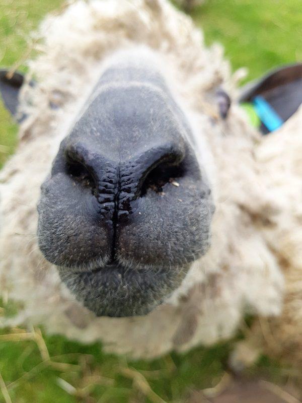 Neugieriges Schaf auf Texel