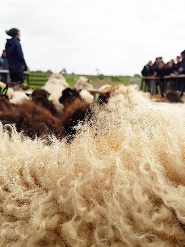 Schafswolle auf Texel