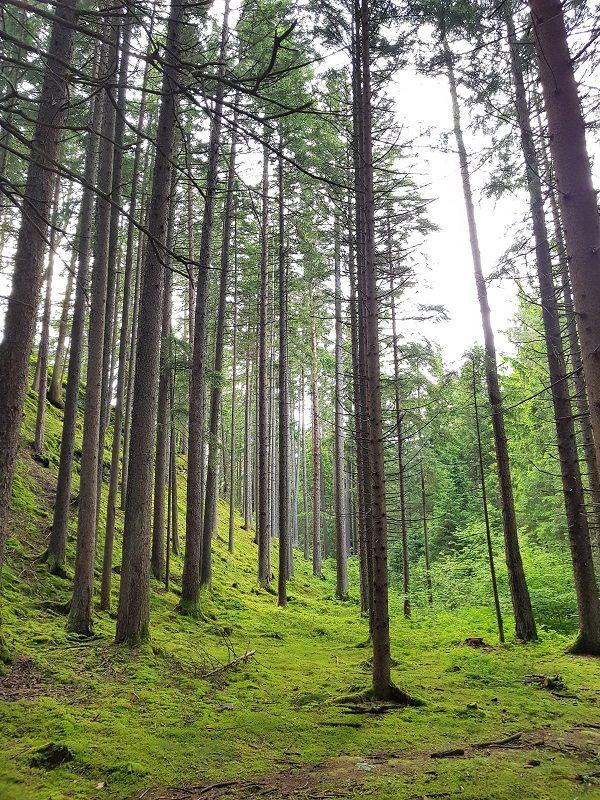 Wald im Slow Trail Zwergsee in Kärnten