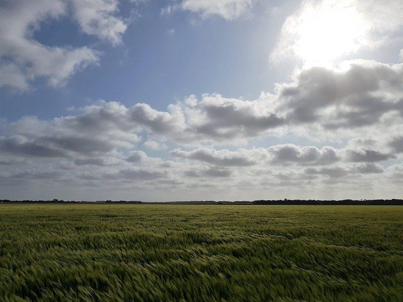 Weizenfeld auf Texel