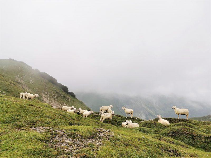 Schafe kurz vor der Landsberger Hütte auf Etappe 2 - Grenzgänger