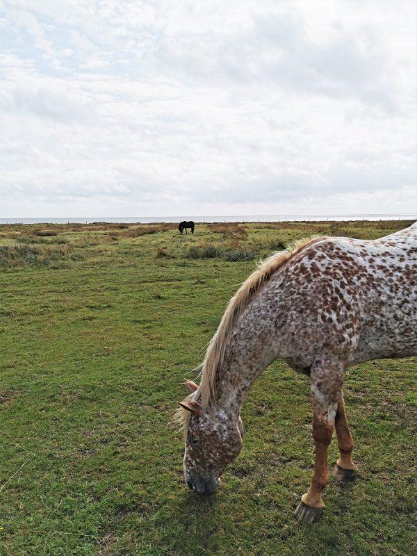 Pferd auf dem Weg zur Domäne Bill auf Juist