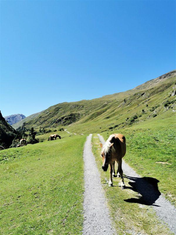 Haflinger auf dem Weg zur Vernagthütte bei Vent