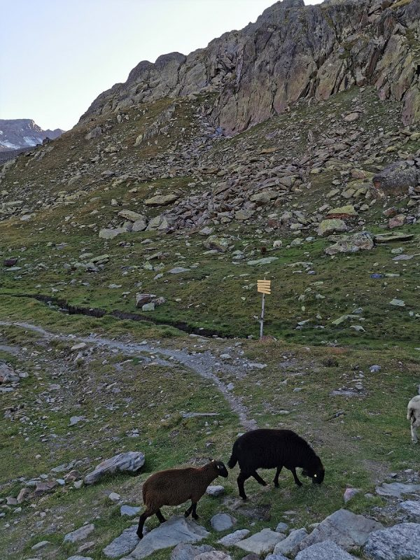 Schafe an der Vernagthütte