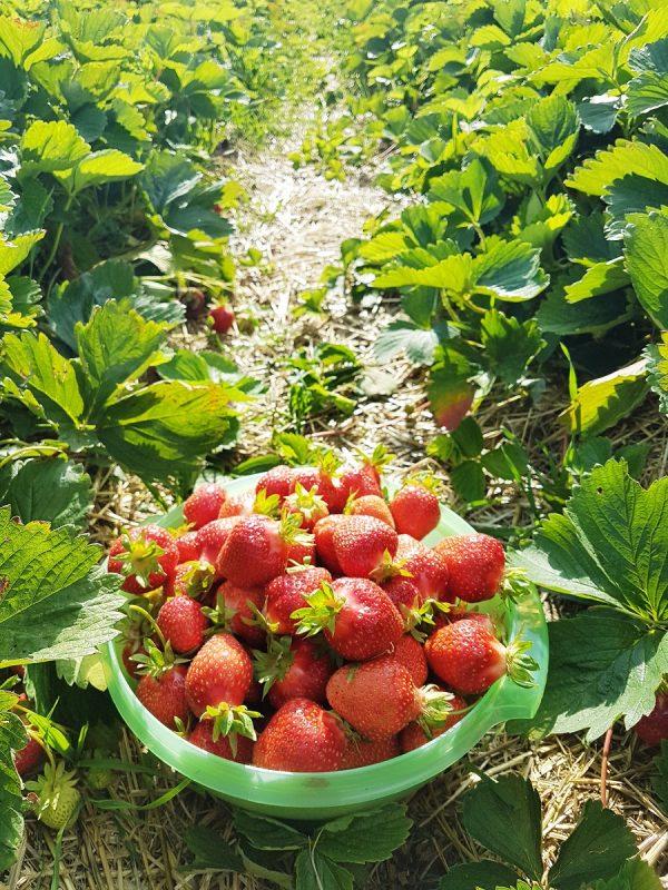 Erdbeeren auf dem Feld