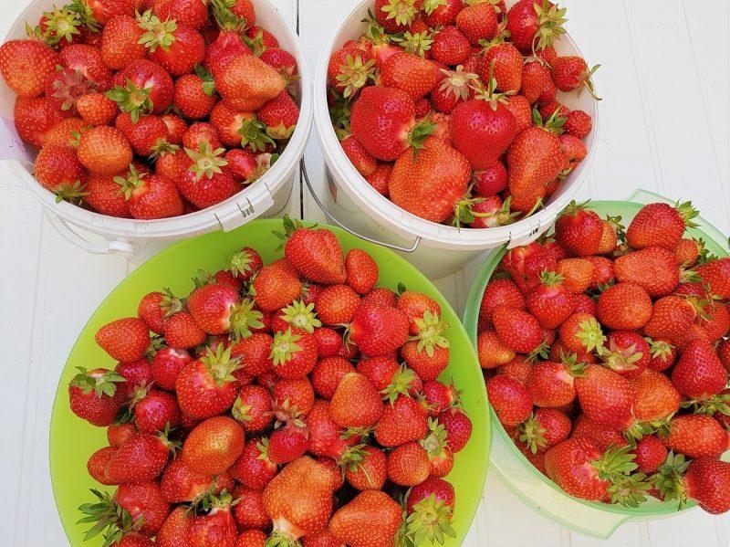 Erdbeeren ohne Ende