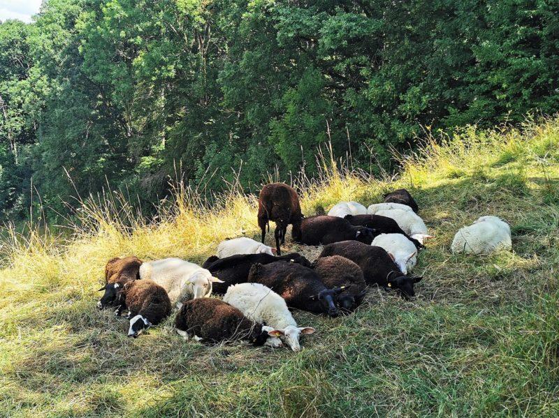 Schafe auf der Wanderung Rund um den Zabelstein