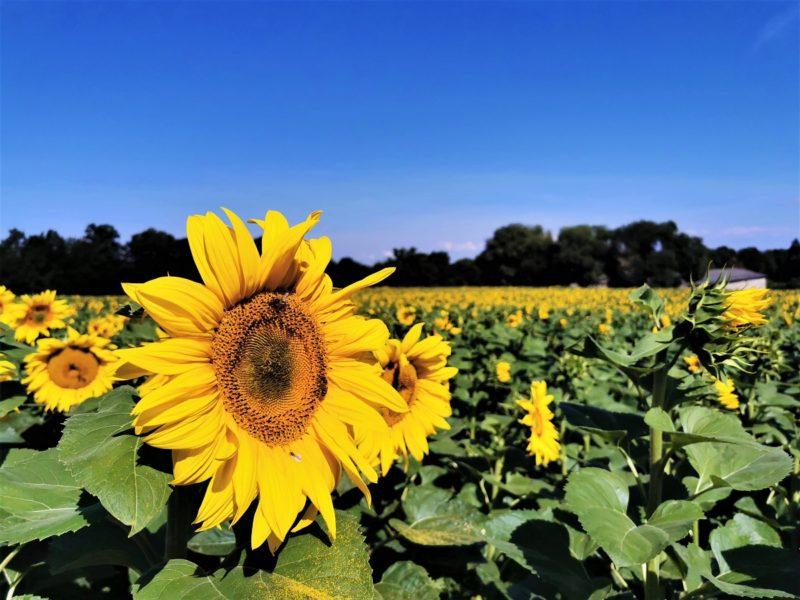 Sonnenblumen auf der Wanderung Rund um den Zabelstein