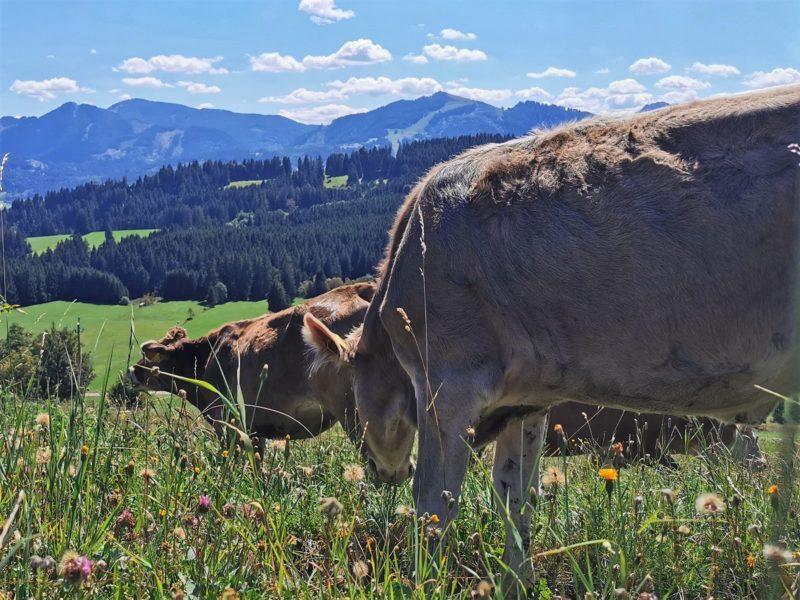 Kühe mit Ausblick auf der Wandertrilogie Allgäu