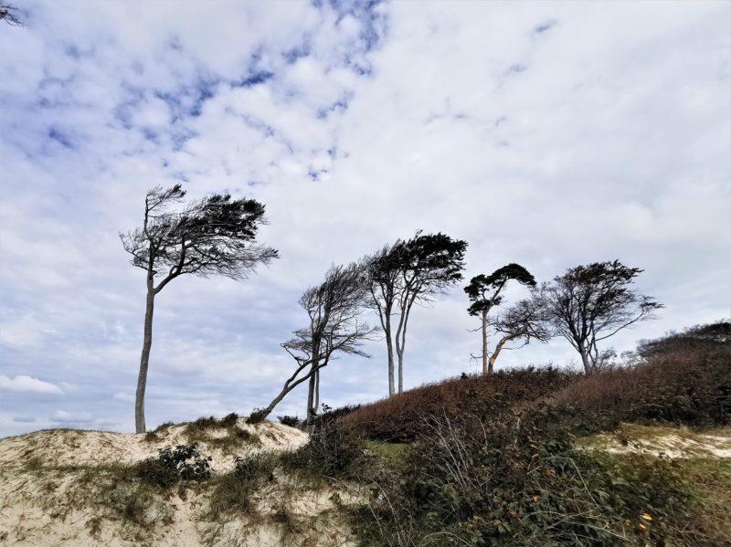 Buchen an der Küste im Nationalpark Vorpommersche Boddenlandschaft in Mecklenburg-Vorpommern