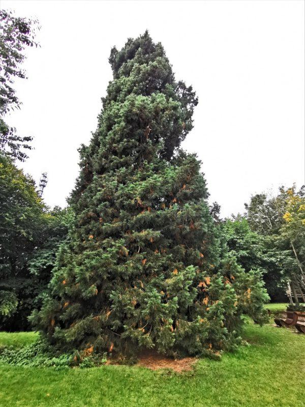 Mammutbaum (Sequoidendron giganteum) im Nationalparkzentrum Königsstuhl in Mecklenburg-Vorpommern