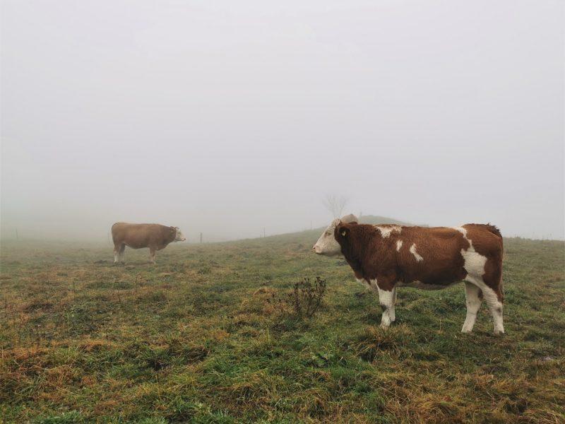 Kühe auf der Extratour Guckaisee in der Rhön